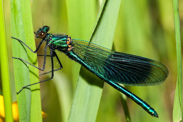 Male Banded Demoiselle (Calopteryx splendens) Willen Lake 2013