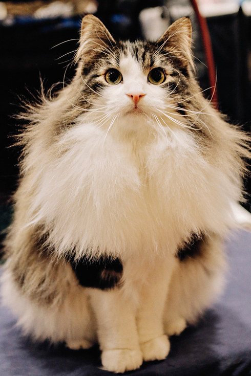 6 Epically Adorable Pictures From The Norwegian Forest Cat Show