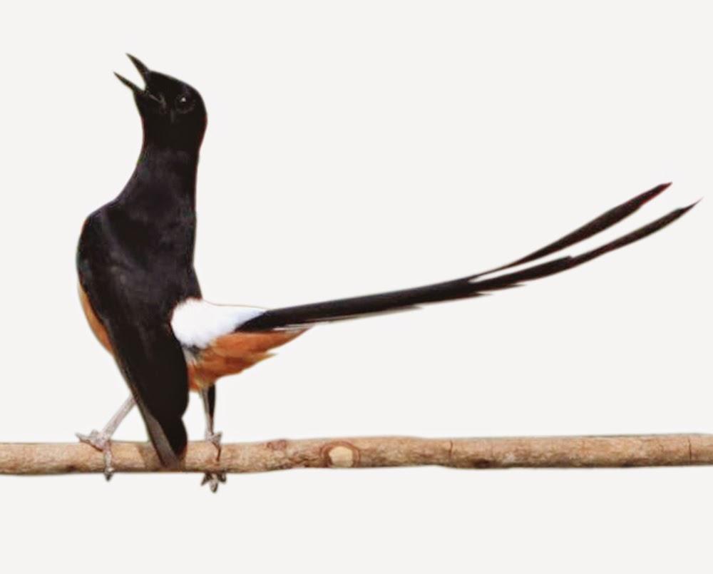 gambar hewan - foto burung murai