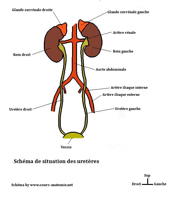 anatomie de l'uretère Situation%2Bdes%2Burete%CC%80res