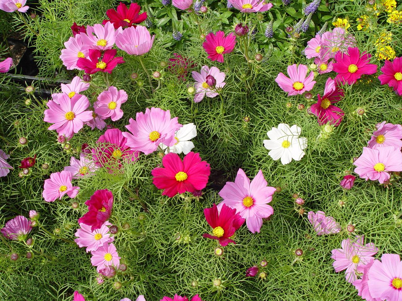 Imágenes de flores y plantas: Cosmos: solo-flores.blogspot.com/2011/09/cosmos.html