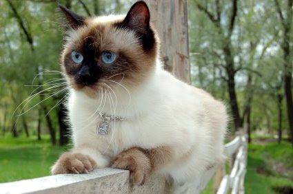 Merawat Bulu Kucing Siam