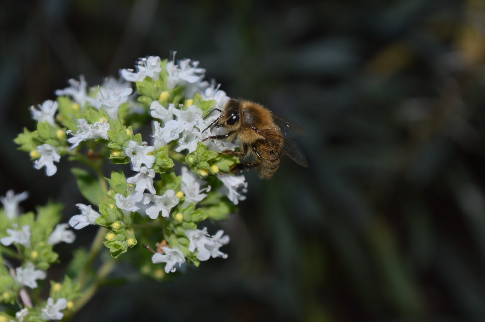 Queen Anne Bees Bee Plants