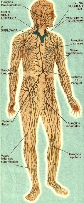 Imagen del Sistema inmunológico indicando sus partes