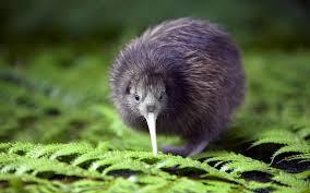 Burung Kiwi