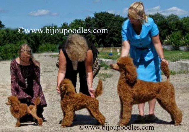 Toy poodle height