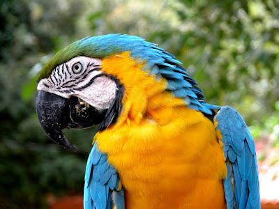 Arara azul-amarela, canindé em Bonito, MS