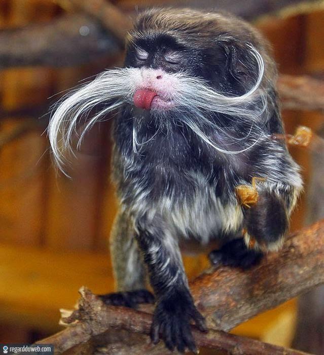 Images comiques et incroyables Animal - Singe v136 - Des milliers de photos drôles et insolites
