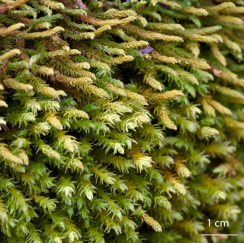 Musgo Anomodon viticulosus de la familia Anomodontaceae, seco y mojado