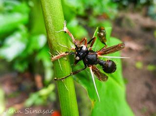 Cordyceps wasp
