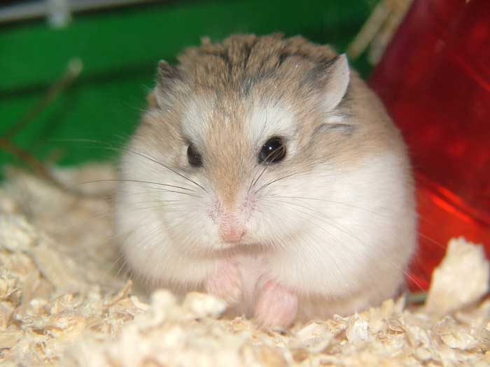 Hamster | Animal Wildlife