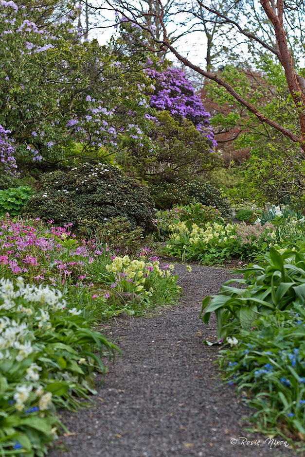 Pink and white erythroniums with yellow oxlips bordering one of the many meandering paths full of flowering Rhododendrons.
