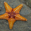 Science & Nature Wildfacts Common Starfish