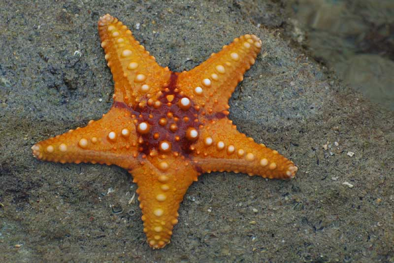 Picture Gallery: Science & Nature Wildfacts Common Starfish