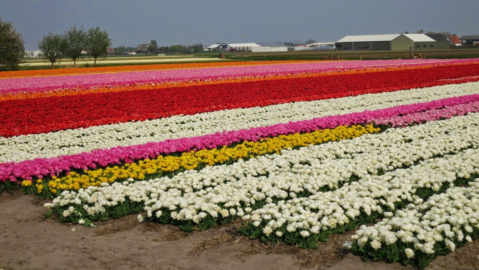 Bollenvelden in Voorhout