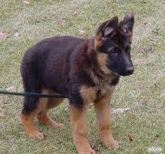 German-Shepherd-puppies-6