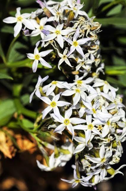 Amsonia Amsonia tomentosa_5934