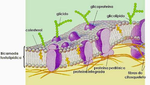 Estrutura celular: Principais organelas I