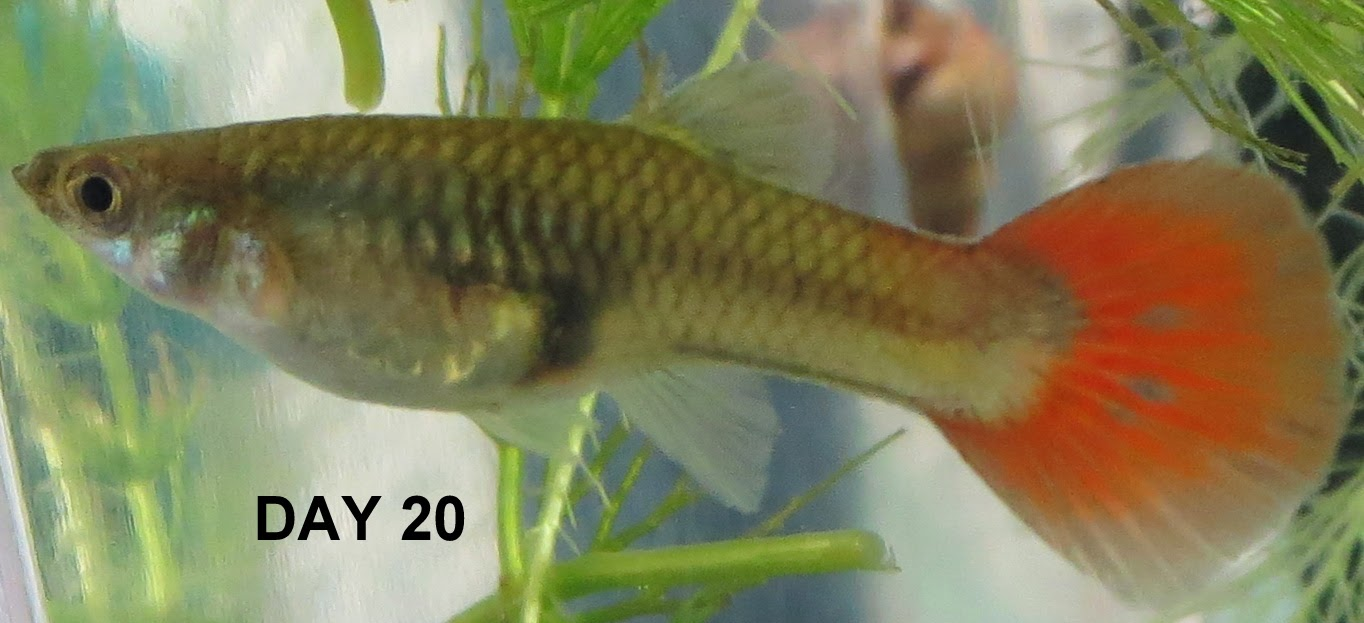 Pregnant guppies stages images for How long is a guppy fish pregnant