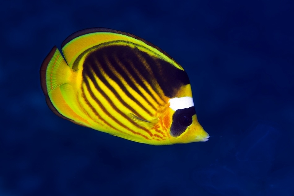 Answer, matchless Info on striped butterfly fish only reserve