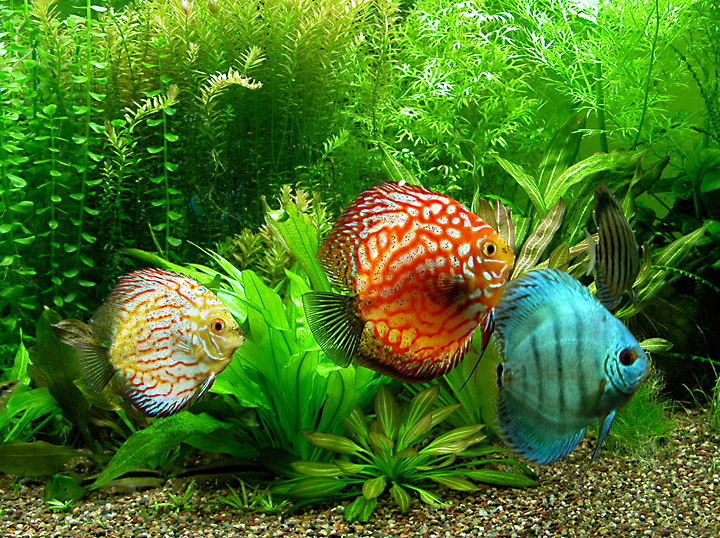 Discus fish info and photos the wildlife for Red para peces de acuario