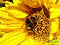 Dumbledor on the sunflower, trzmiel na słoneczniku