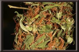Cannabis Cup Amsterdam 2011