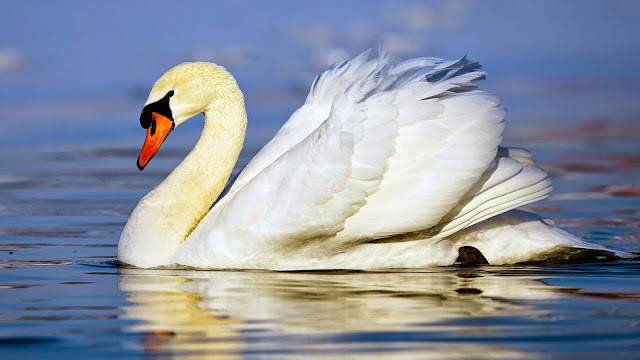 12131-Beautiful Swan Animal HD Wallpaperz
