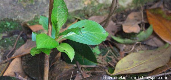 Cuidados de la hortensia cuidar de tus plantas es - Hortensias cuidados poda ...