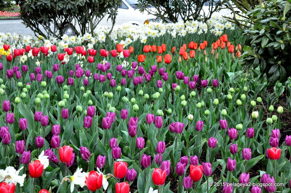 MySecretGarden: Skagit Valley Tulip Festival - 2015 and Around. Just ...