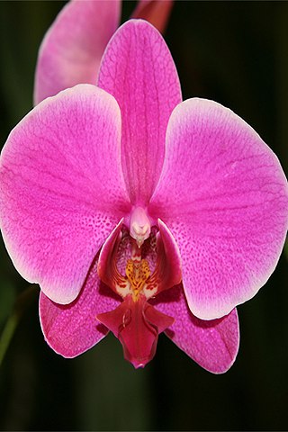 Orquídea rosa - Solo Nuevas