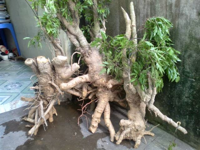 chữa bệnh bằng cây đinh lăng