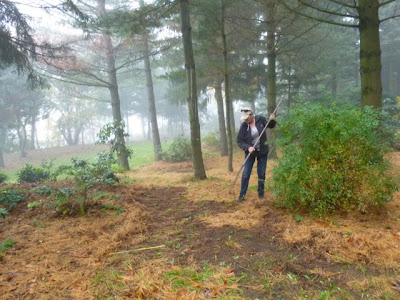 Volunteer uses rake to spread pine needle mulch around rhododendrons and azaleas.