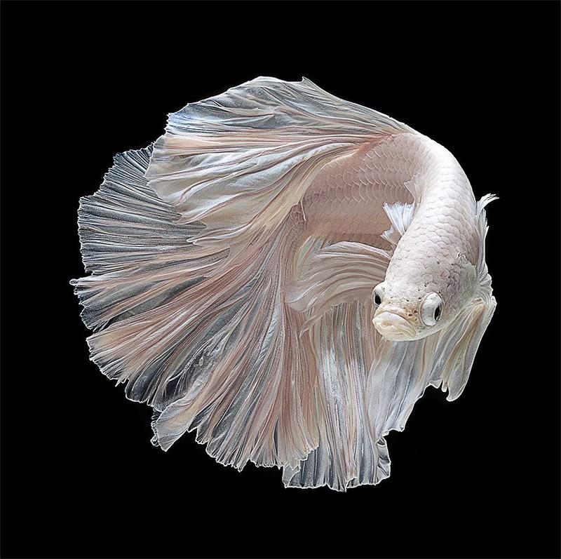 Potret yang menakjubkan Ikan laga Siam oleh Visarute Angkatavanich