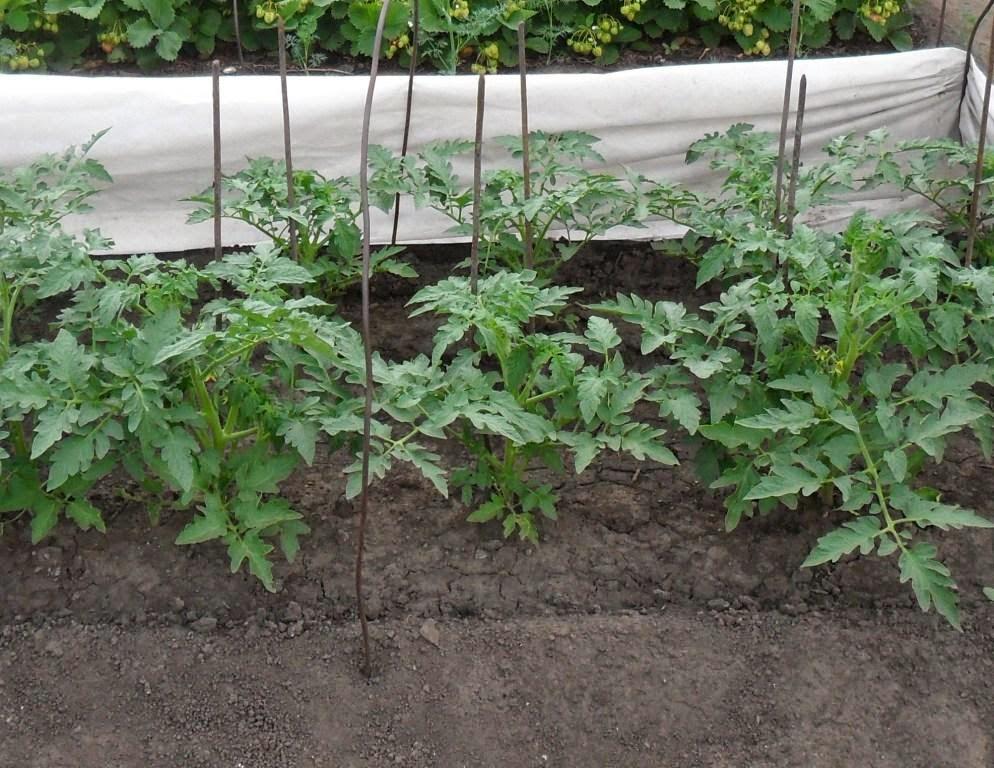 Безрассадные помидоры начинают цвести