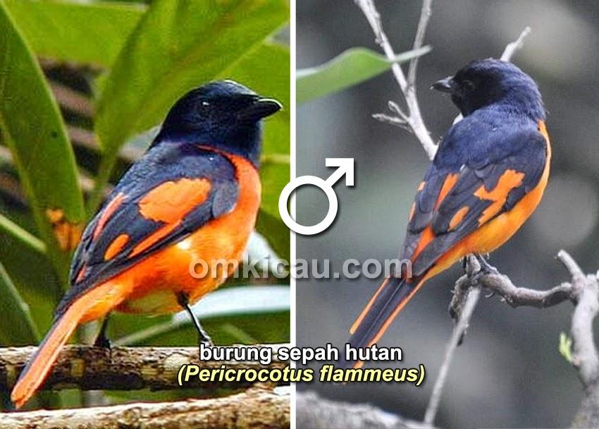Foto Burung Mantenan Jantan