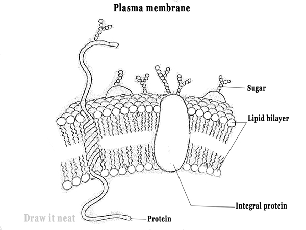 draw it neat   how to draw plasma membrane  cell membrane