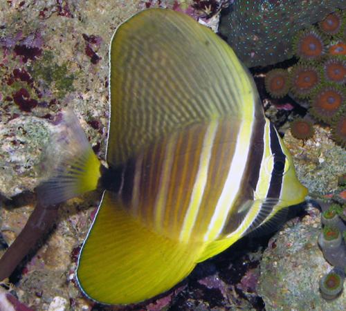 Fish index october 2011 for Tang saltwater fish