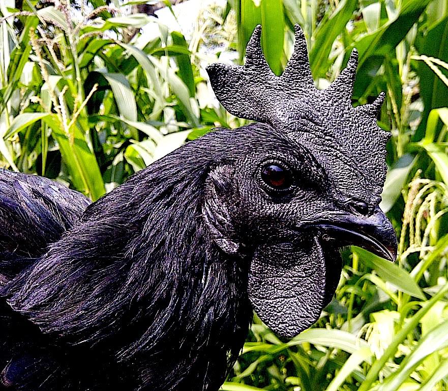 La bendición de tener gallinas negras en la familia indonesia