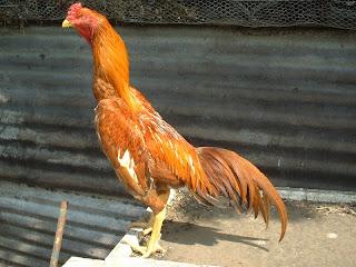 Ayam jenis Brazilian