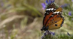Mariposa,que posa, en Anosma