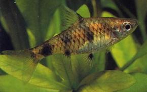 Aquarium fish golden dwarf barb for Gold barb fish