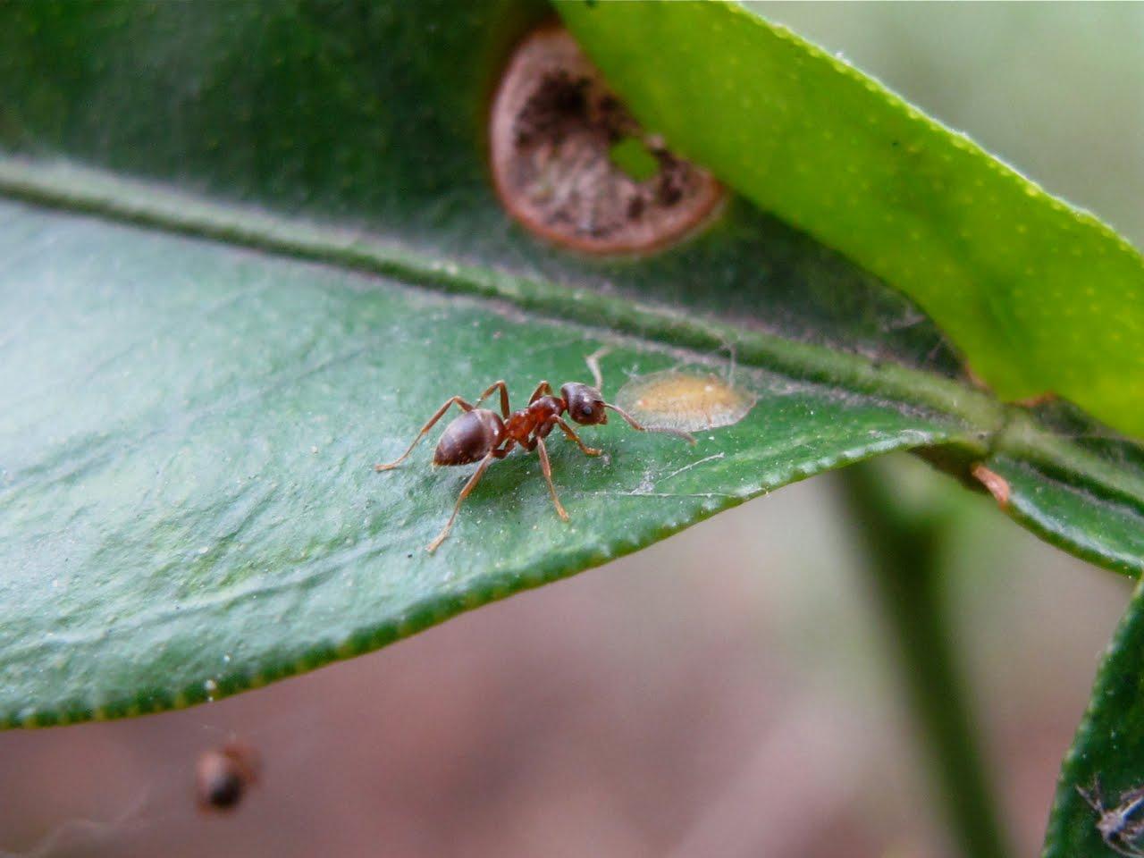 BugBlog: Are male false widow spiders ant mimics?