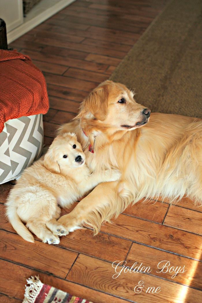 Golden Retriever puppy and big sister - www.goldenboysandme.com