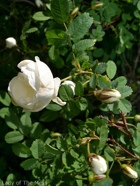ruusu, rose, juhannusruusu, midsummerrose
