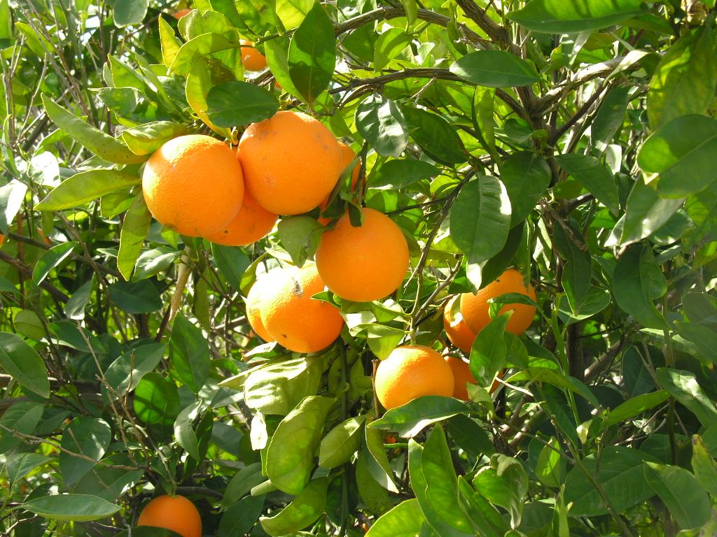 Orange Tree Wallpaper Orange fruit tree wallpapersOrange Tree Wallpaper