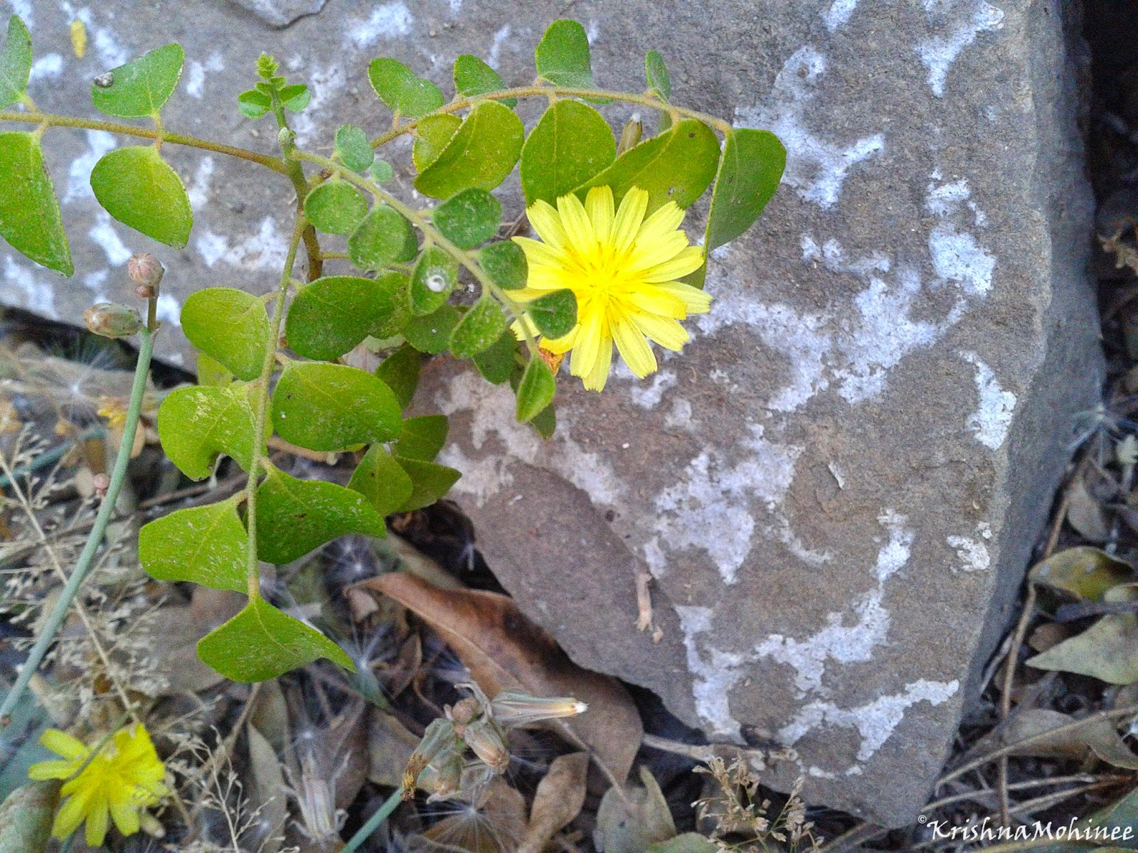 Image: Golden yellow flower with big stone