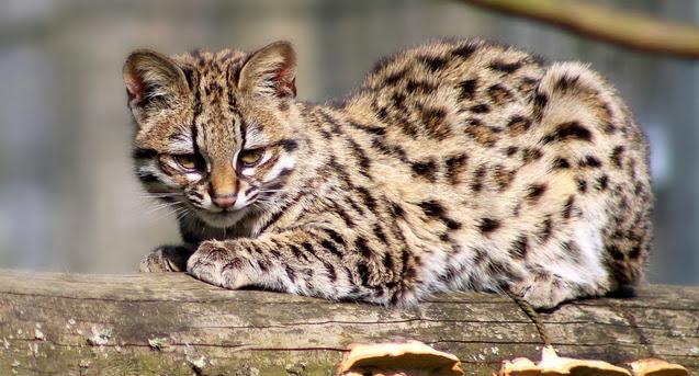 Тигровая кошка, Leopardus guttulus