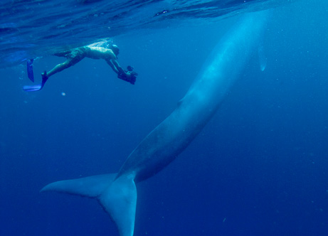 Blue whales endangered species save blue whales
