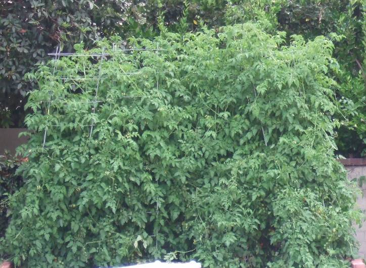 My Southern California Vegetable Garden Cherry Tomato Plant Spacing
